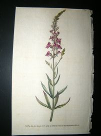 Curtis 1789 Hand Col Botanical Print. Purple Toad Flax 99